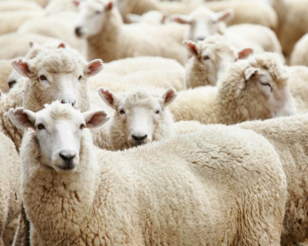 Комбикорма Минводского комбикормового завода — овцеводческому комплексу ГК «Дамате» на Ставрополье